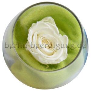 Weiße konservierte Rose im Rundglas | echte Blüte